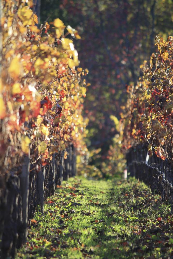 Vineyards in Autumn